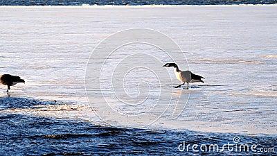 Pair av gäsvuxna i Kanada, branta canadensis, slita och falla på is på delvis frysta sjöar Irving i Bemidji, Minnesota lager videofilmer