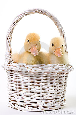 Pair of Baby Ducks in an Easter Basket