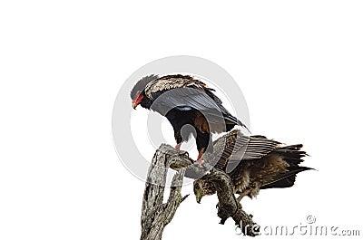 Pair of Bateleur Eagles