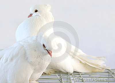 A pair of beautiful dove