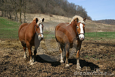 A pair of Belgian Draft horses