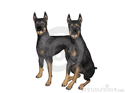 Pair of Black Dobermans