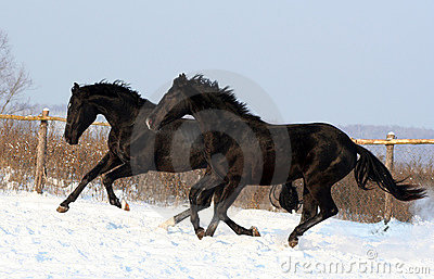 A pair of black horses