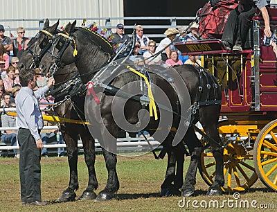 Pair of Black Percheron Horses at Country Fair Editorial Photo
