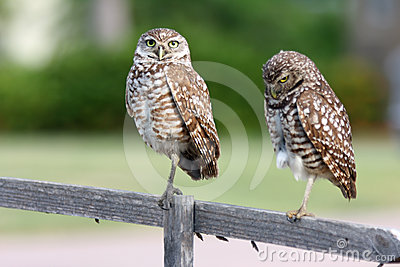 Pair of Burrowing Owls in Cape Coral, Florida
