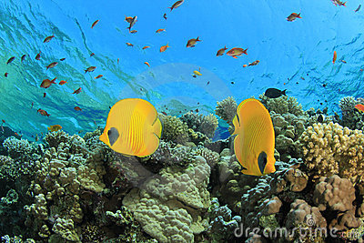 Pair of Butterflyfish