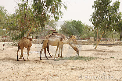 A pair of camels with calf
