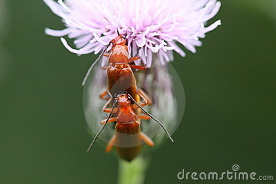 Pair of common red soldier beetles