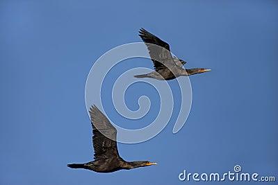 Pair of cormorants.