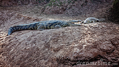 A pair of crocodiles are on the river bank