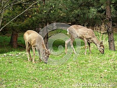 Pair deer