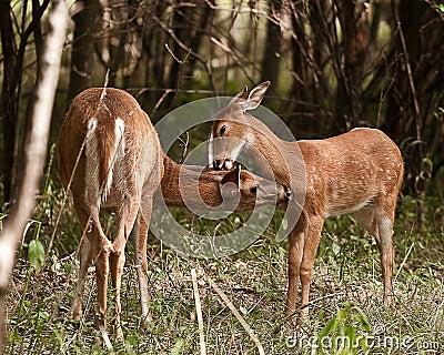 Pair of deer in field