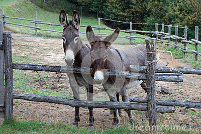 Pair of donkeys