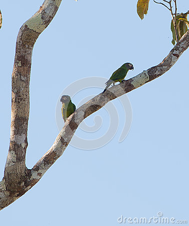 A pair of the Dusky-headed Parakeet