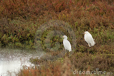 Pair of Egret