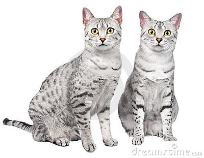 Pair of Egyptian Mau Cats
