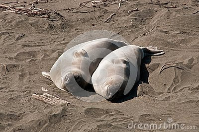 Pair of elephant seals