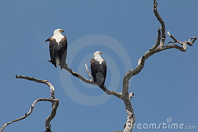 Pair of Fish eagles