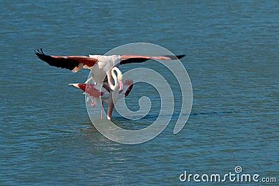 A pair of flamingos matting