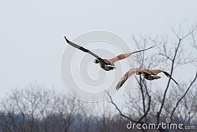Pair of flying geese