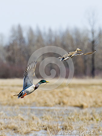 Pair Of Flying Mallards