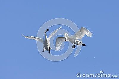 Pair of flying Swans