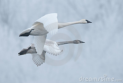 Pair of Flying Trumpeter Swans (Cygnus buccinator)