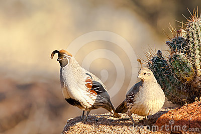 Pair of Gambel s Quail