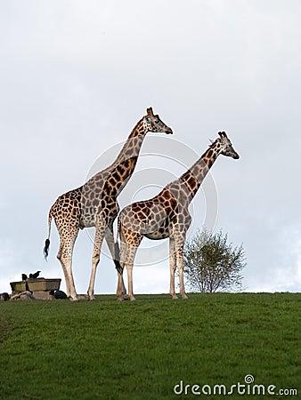 Pair giraffes