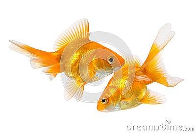 Pair of goldfish