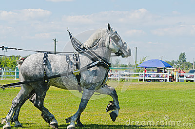 Pair of Grey Percherons at Country Fair Editorial Photography