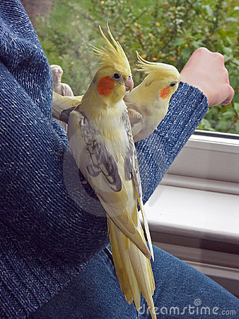 Pair of Hand Reared Cockatiels