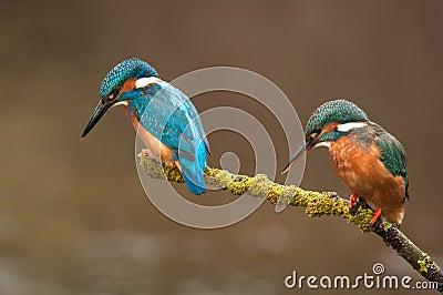 Pair of Kingfisher