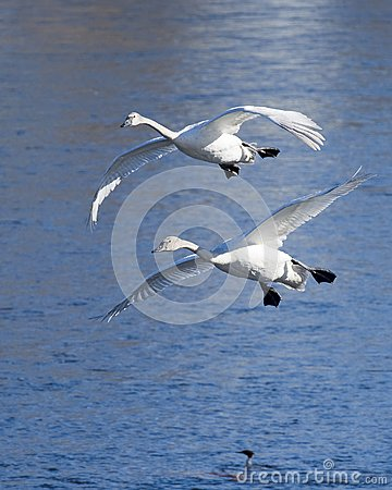 Pair of Landing Swans