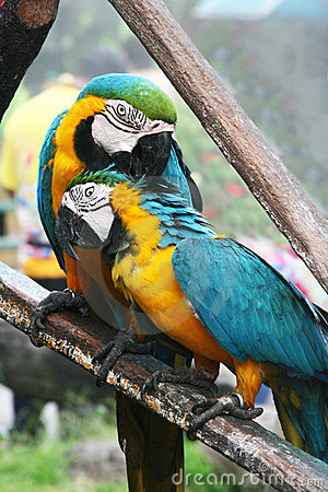 Pair of large parrots