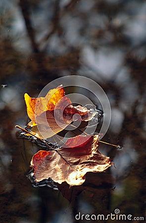 Pair of leaves floating on water