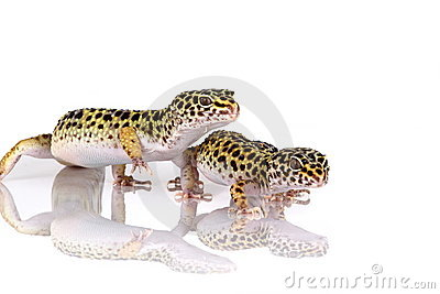Pair of leopard geckos