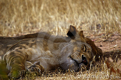 A pair of lionesses asleep under a tree