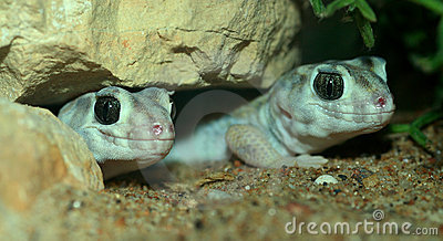 Pair of lizards