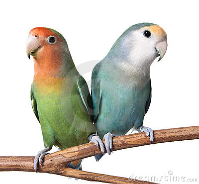 A Pair Of Lovebirds