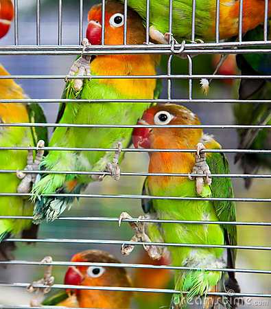 Pair of Lovebirds in a Cage
