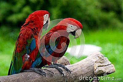 Pair Macaws