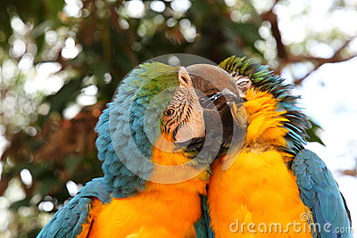 Pair of preening Macaws