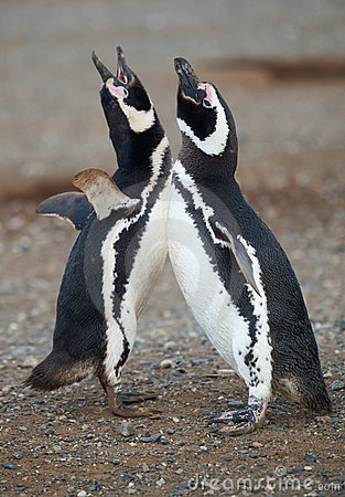 Pair of magellanic penguins