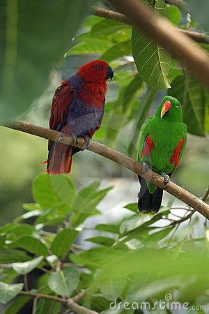 Pair of mated eclectus parrots