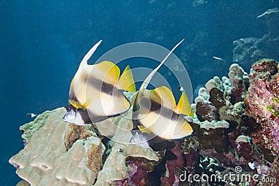 Pair of moorish idols on a reef