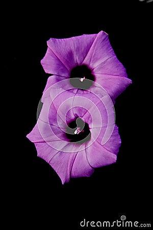 Pair of Morning Glory Flowers on Black