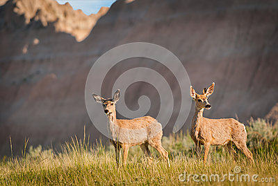 Pair of Mule Deer with Badlands Ridgeline