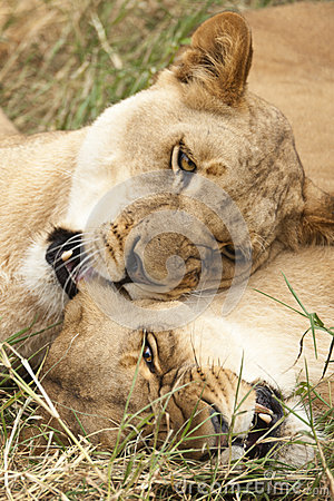 Two lionesses playing