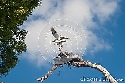 Pair of Nesting Osprey
